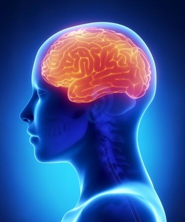 大脳 - 女性の脳解剖学側面図