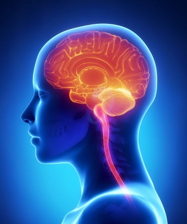 cerebro: Cerebro femenino x-ray anatomía Foto de archivo