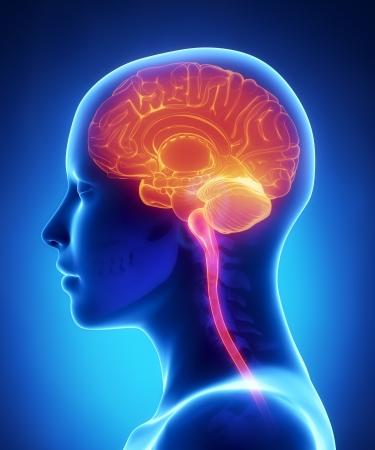impulse: Weibliche Gehirn x-ray Anatomie