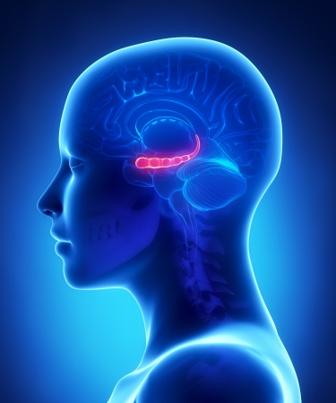 Hyppocampus - 女性の脳解剖学側面図
