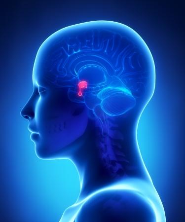 hipofisis: Gl�ndula pituitaria - vista femenino anatom�a cerebral lateral