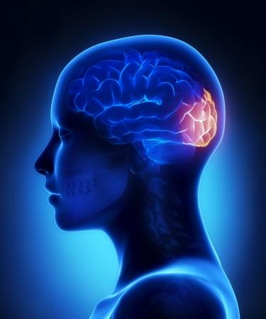Lobo occipitale - femmina cervello anatomia vista laterale
