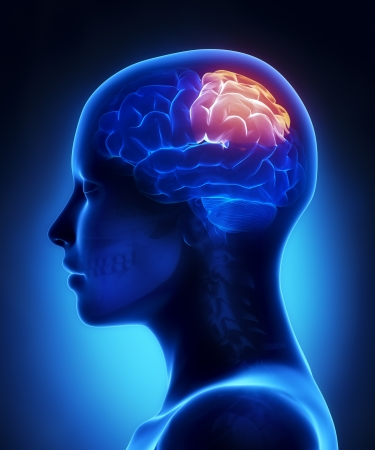 frontal lobe: Parietal lobe - female brain anatomy lateral view Stock Photo