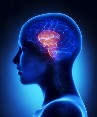 lateral: Tallo cerebral - cerebro femenino vista lateral anatom�a Foto de archivo
