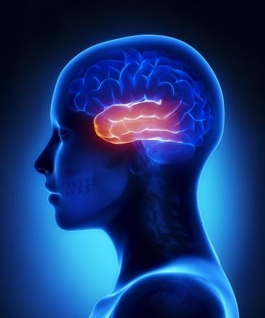 Temporal lobe - female brain anatomy lateral view