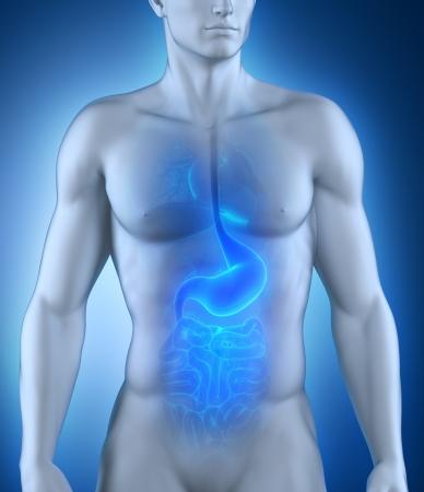 digestion: Digestive organ anatomy