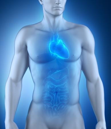 transparent male anatomy: Human heart anatomy