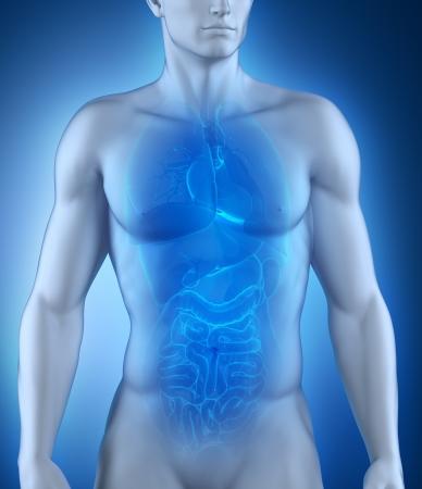 digestion: Male organs anatomy