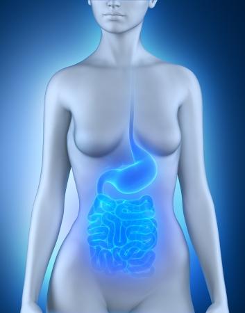 abdominal pain: Female digestive organs anatomy