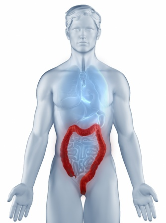 rectum cancer: Colon position anatomy man isolated
