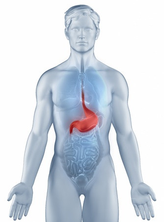 Stomach position anatomy man isolated Stock Photo - 19707330