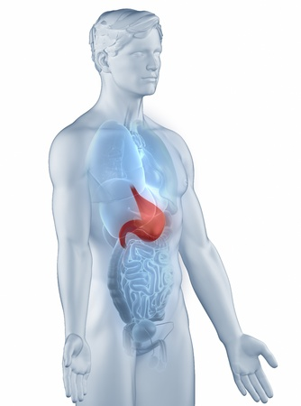 Stomach position anatomy man isolated lateral view Stock Photo - 19707250