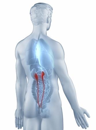 Ureter position anatomy man isolated posterior view Stock Photo - 19707300