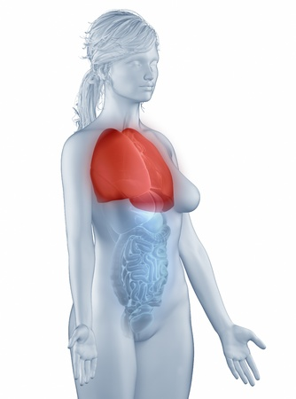Lungs position anatomy woman isolated lateral view Stock Photo - 19707238