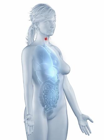 Thyroid anatomy Stock Photo - 19707298