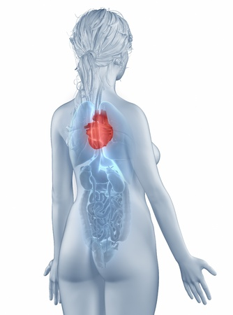 Herz Position Anatomie Frau Isoliert Rückansicht Lizenzfreie Fotos ...