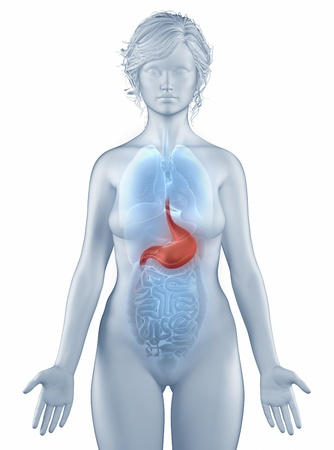 Stomach position anatomy woman isolated Stock Photo - 19707362