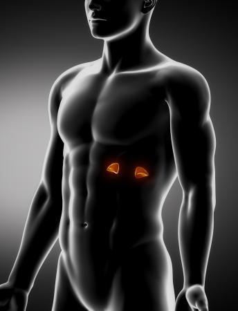 anterior: Adrenal  male anatomy anterior x-ray view