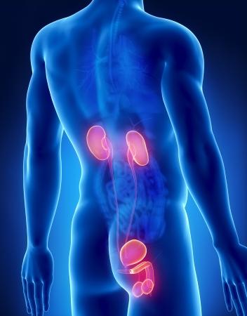 Urogenital male anatomy posterior x-ray view Stock Photo - 20902041