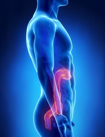 rectum cancer: Colon male anatomy lateral x-ray view