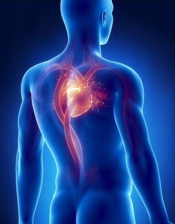 Circulatory system male anatomy posterior x-ray view photo