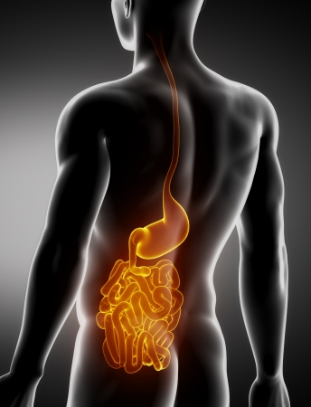 Stomach and intestine male anatomy posterior x-ray view Stock Photo - 20902065