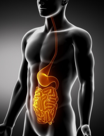 Stomach and intestine male anatomy anterior x-ray view Stock Photo - 20902066