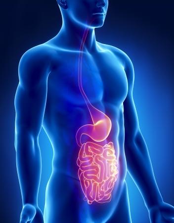Stomach and intestine male anatomy anterior x-ray view Stock Photo - 20902071