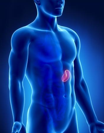 Spleen male anatomy anterior x-ray view photo