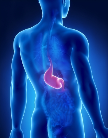 Stomach male anatomy posterior x-ray view Stock Photo - 20902184