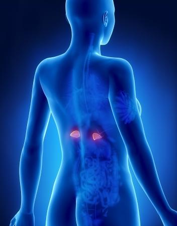 suprarrenales: Mujer ADRENAL anatomía vista posterior de rayos x