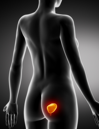 renal stone: Female BLADDER anatomy x-ray posterior view Stock Photo