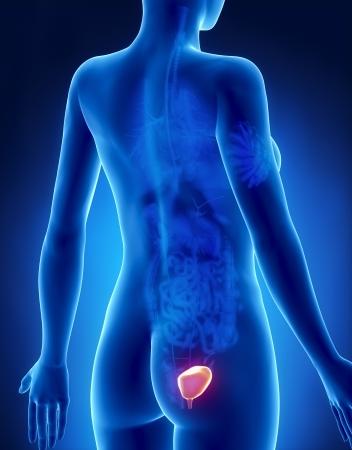 kidney stone: Female BLADDER anatomy x-ray posterior view Stock Photo