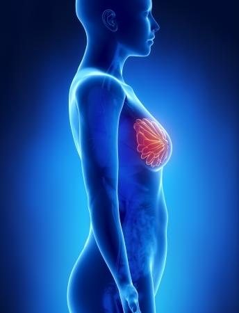 corps femme nue: Sein chez la femme anatomie x-ray de vue de gauche Banque d'images
