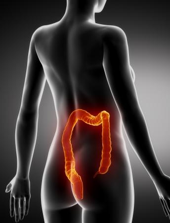 Female COLON anatomy x-ray posterior view Stock Photo - 21649692
