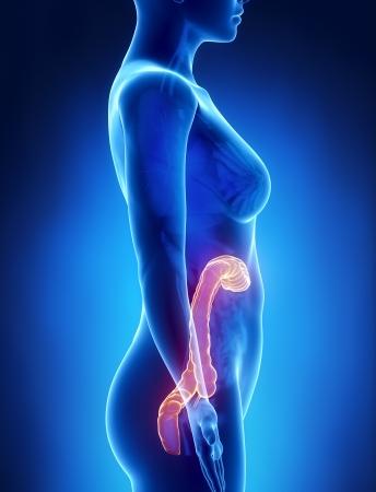 Female COLON anatomy x-ray left view Stock Photo - 21649759