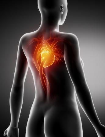 posterior: Female HEART anatomy x-ray posterior view