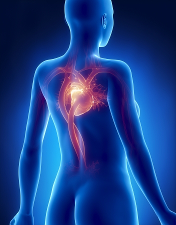 congenital: Female HEART anatomy x-ray posterior view
