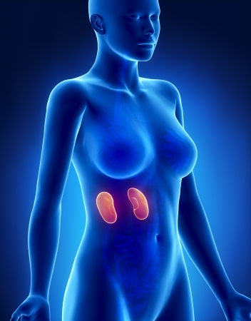 Female KIDNEY anatomy x-ray lateral view photo