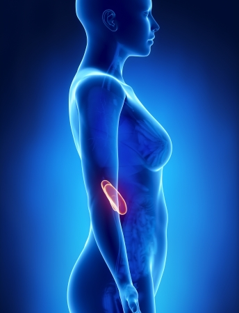 woman posture: Female KIDNEY anatomy x-ray left view