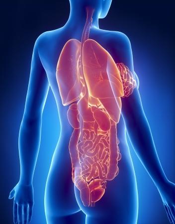 Mujer ESTÓMAGO Y Los Pulmones Anatomía Vista Posterior De Rayos X ...