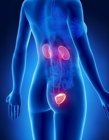 uretra: Mujer URINARIO vista posterior de rayos systemx