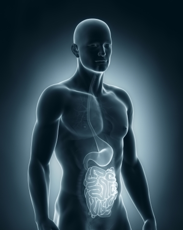 small intestine: Male digestive system anatomy Stock Photo