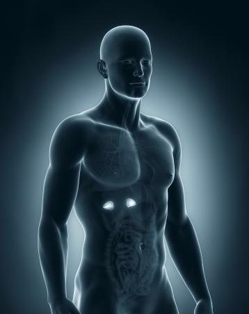 suprarrenales: Anatomía masculina adrenal Foto de archivo
