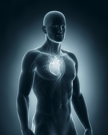 Male heart circulatory system photo
