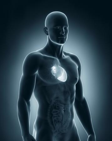 Male heart anatomy photo