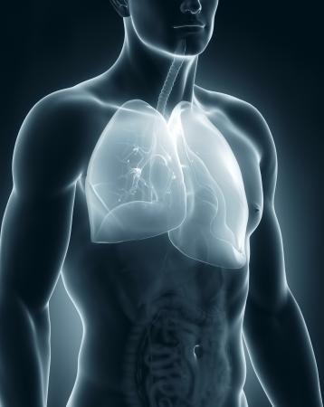 polmone: Maschio anatomia del sistema respiratorio Archivio Fotografico