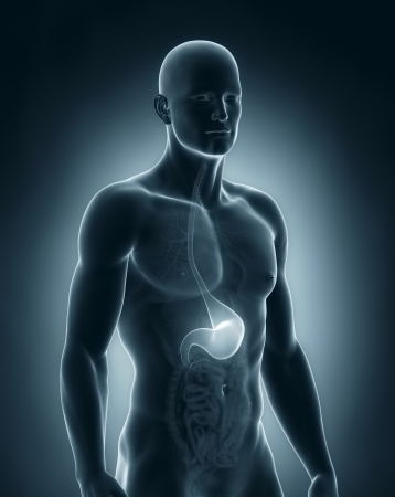Male stomach anatomy Stock Photo - 21789244