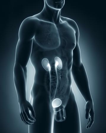 Male urinary system anatomy photo