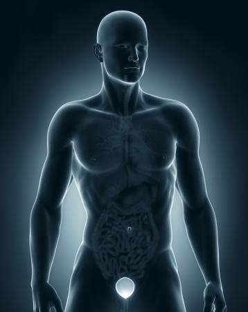 Man bladder frontal anatomy Stock Photo - 21789914